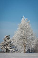 Ett vinterträd